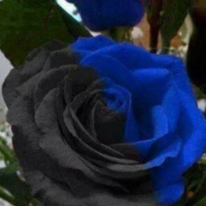 rosa nerazzurra